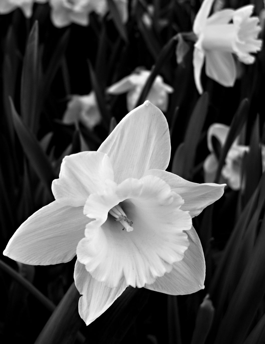 December Birth Flower Tattoo Black And White: Narcissus - December Birth Flower