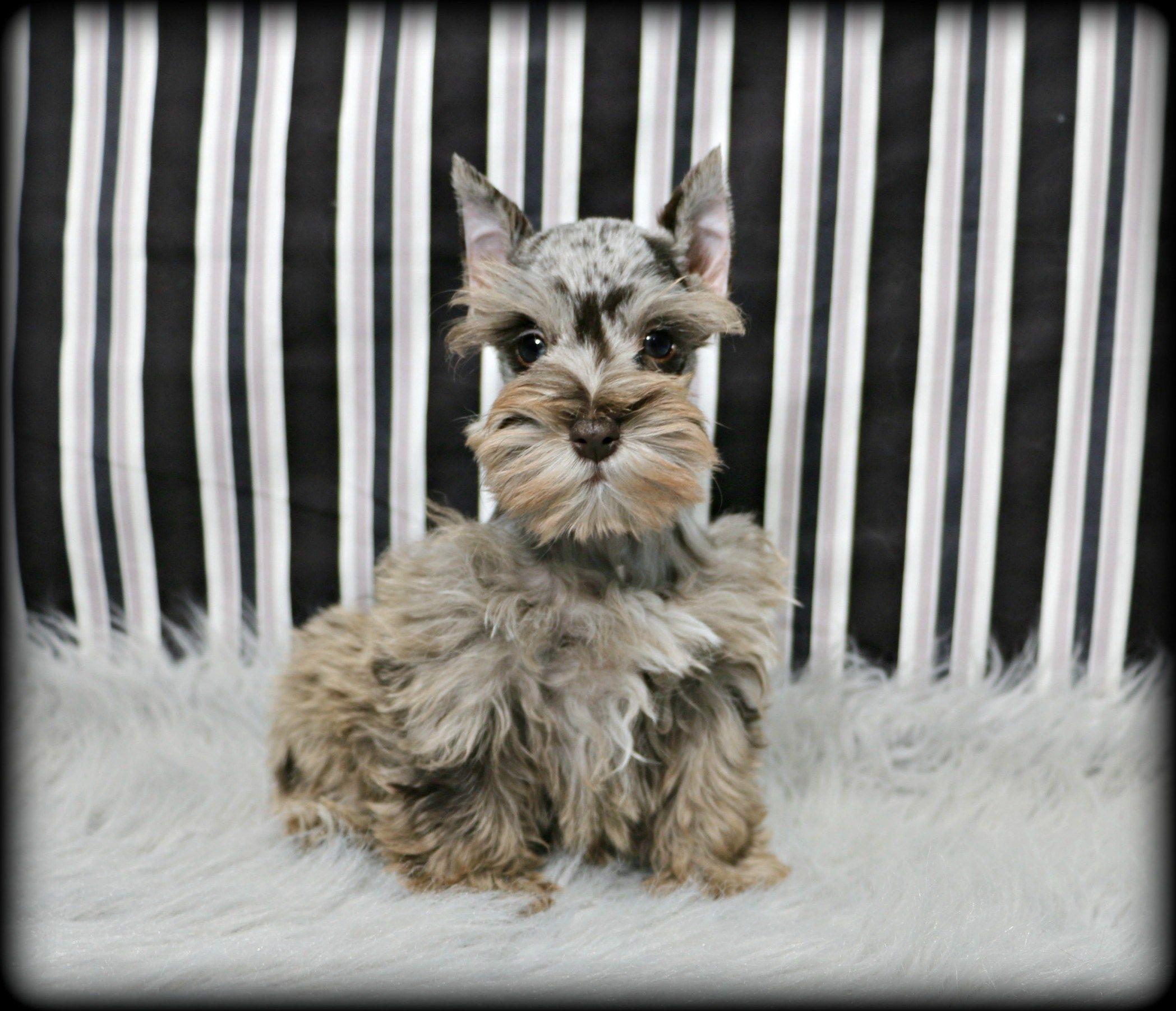 Available Cavapoo Puppies Kansas 2021