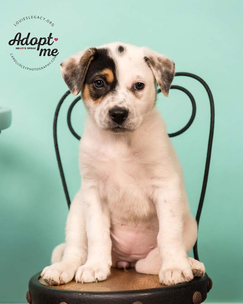 Adopt Cookies and Cream on Adoptable beagle, Labrador