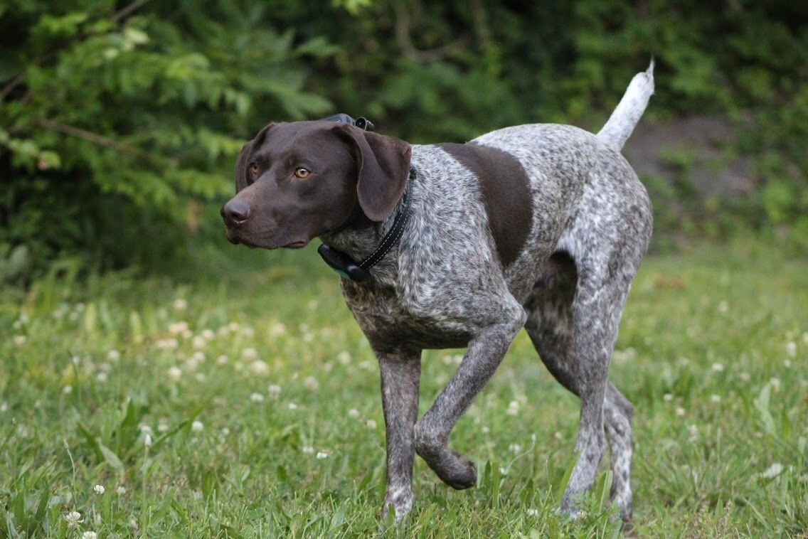 Pointing Dog German Shorthaired Pointer Gsp Training With
