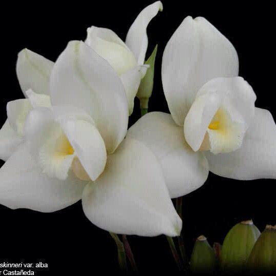 Guatemala White Nun Orchid or Monja Blanca (Lycaste Skinnerialba)