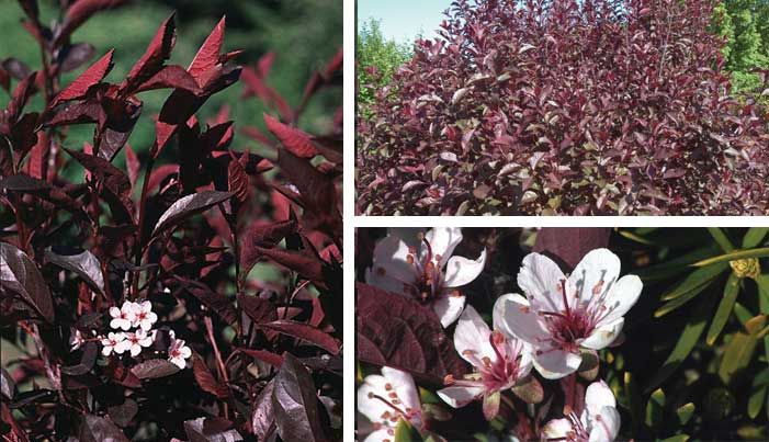 Sandcherry is prized for its masses of fragrant light pink flowers purple leaf sandcherry prized for its masses of fragrant light pink flowers in early spring and deep purple foliage installed west side of house mightylinksfo Gallery