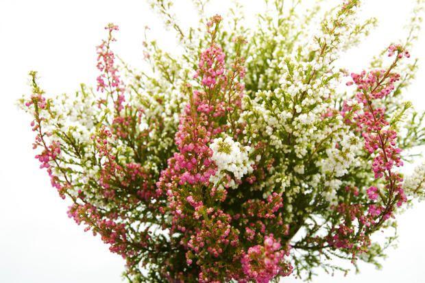 Questo è il periodo migliore per mettere a dimora numerose piantine di erica in giardino, per rendere vivace anche l'inizio dell'autunno ma senza troppi sforzi.
