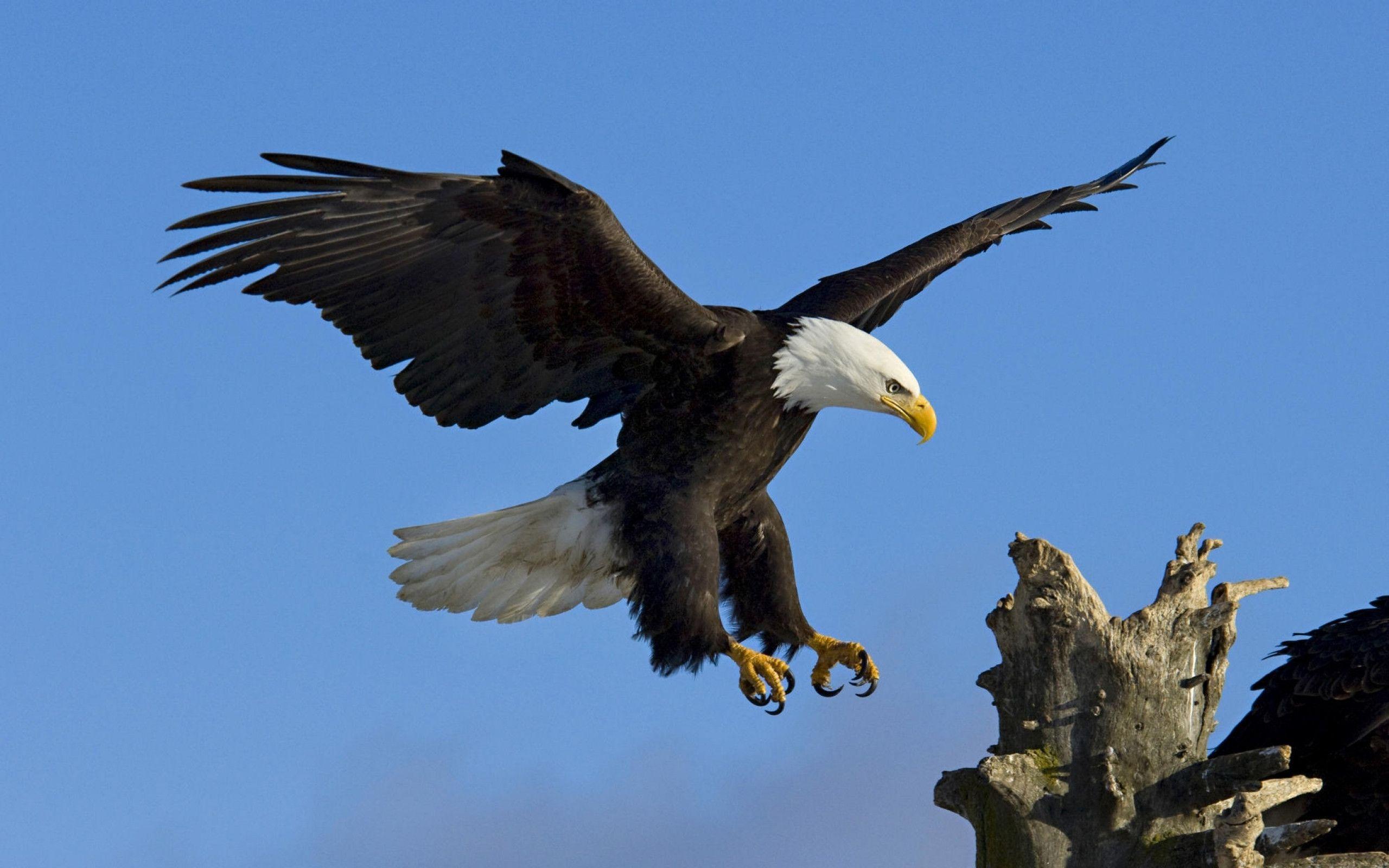 Hd Eagle Bird Wallpapers Bald Eagle Eagle Wallpaper Eagle Eagle bird full hd wallpapers