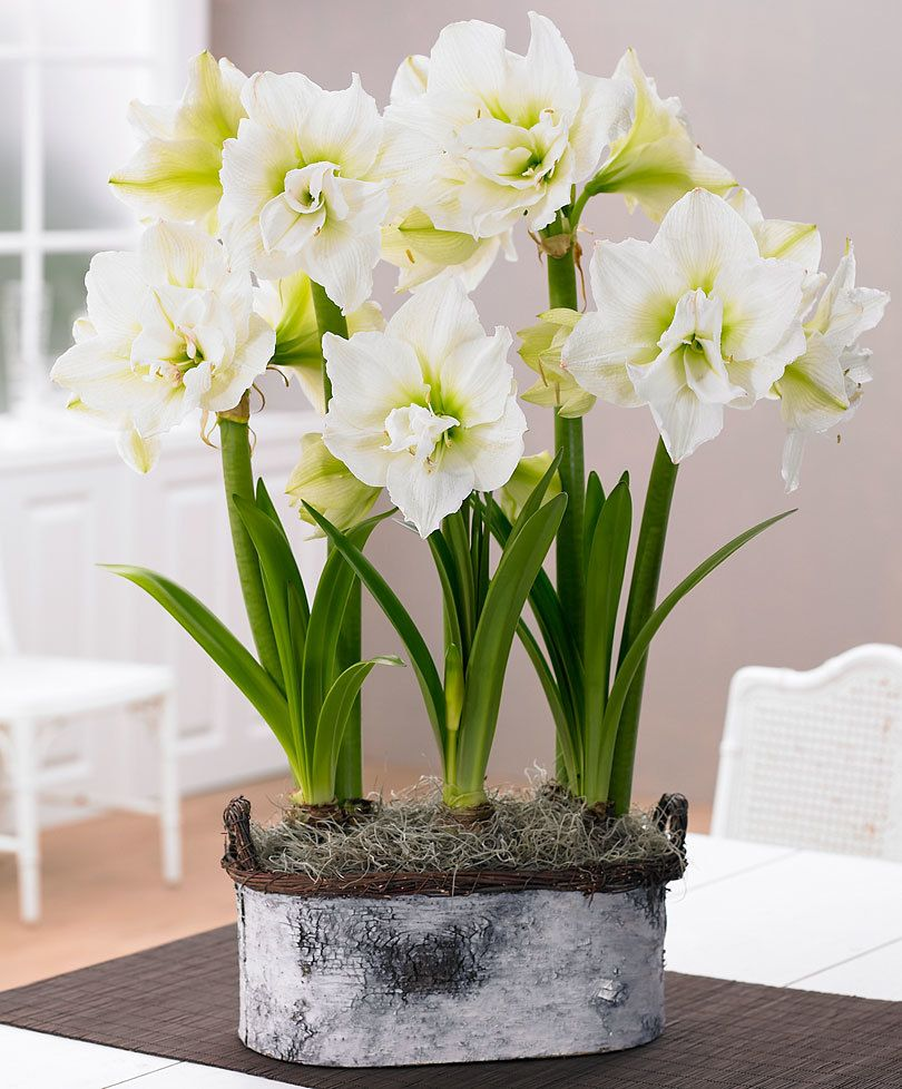 Amaryllis White Nymph Flowers Pinterest Flowers White