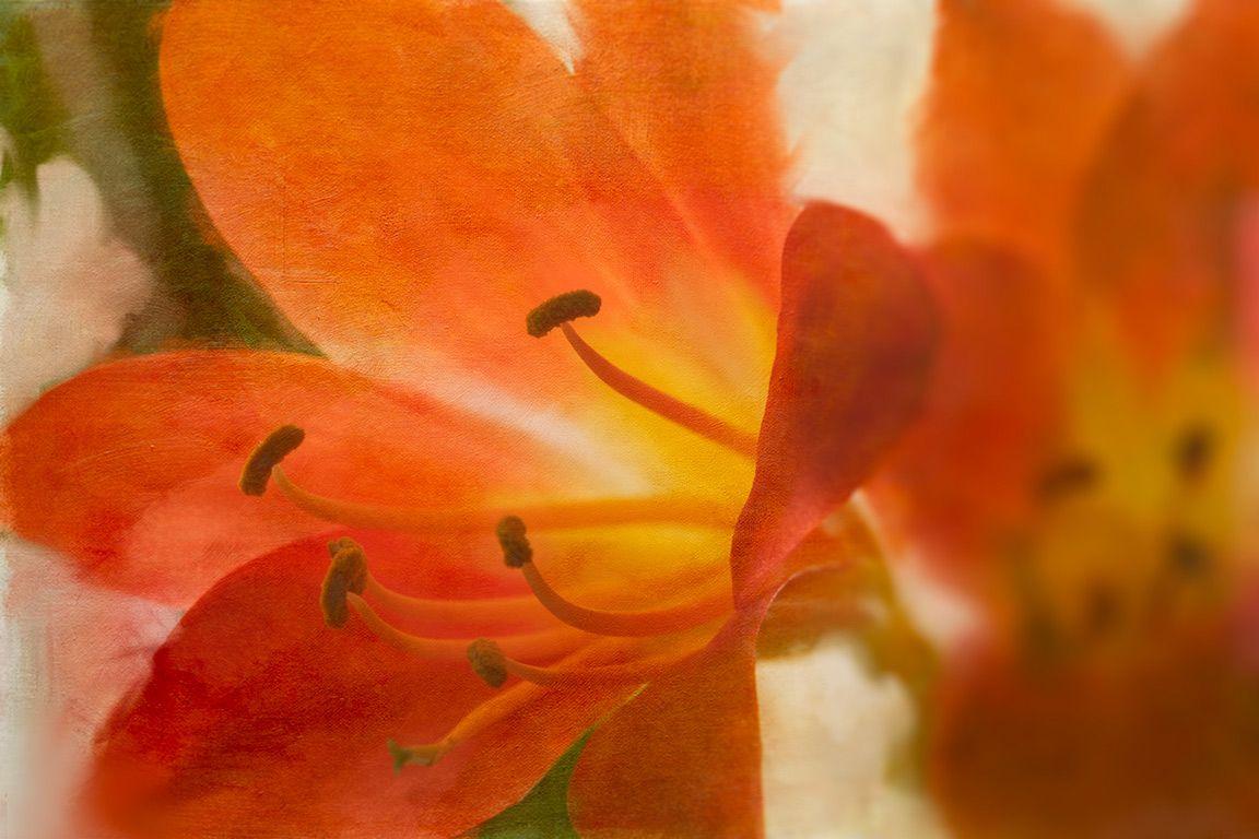 Clivia blossom
