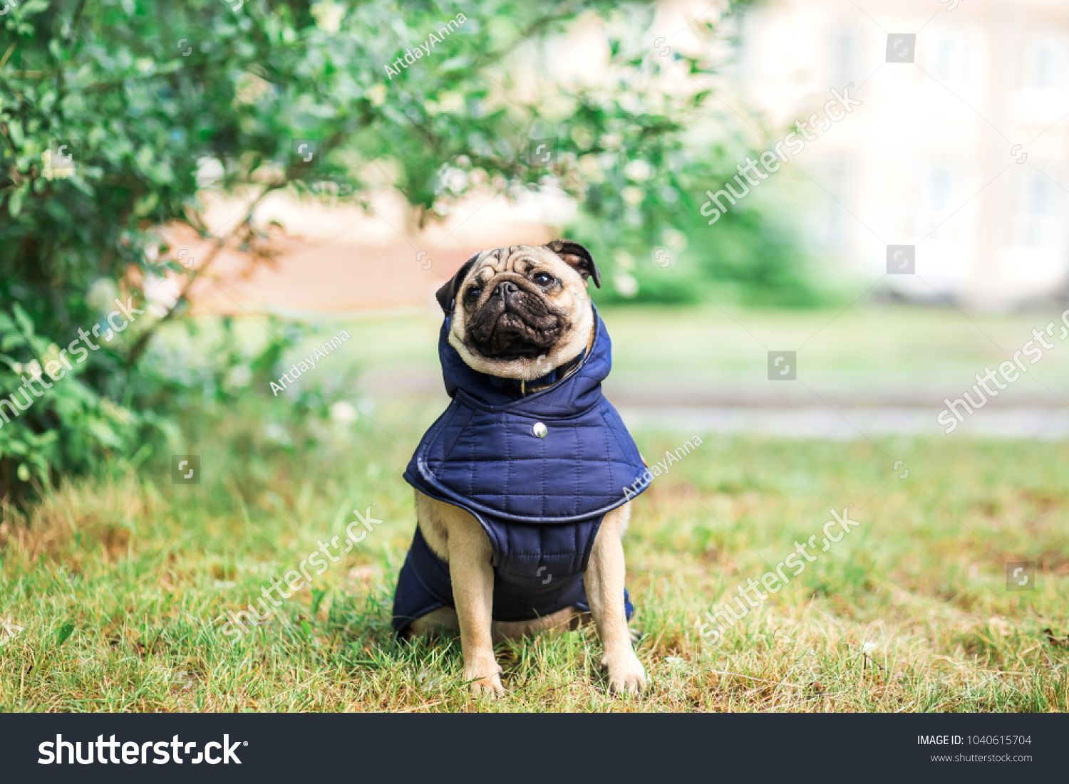 Pug Dog In Clothes For A Walk On Nature Backgroundclothes Dog Pug