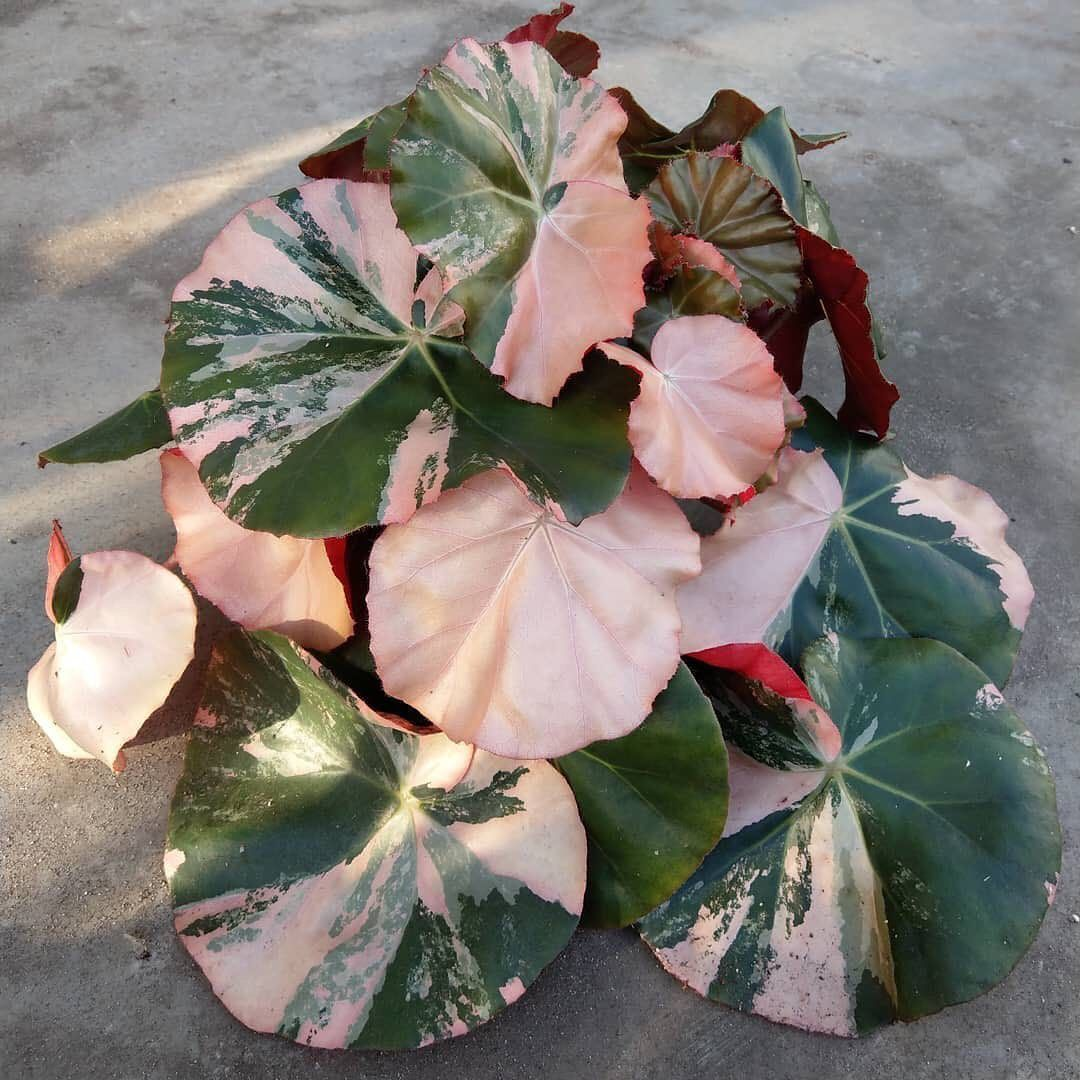 The Begonia Brigade On Instagram Hofstede Hovaria Tagged Us In