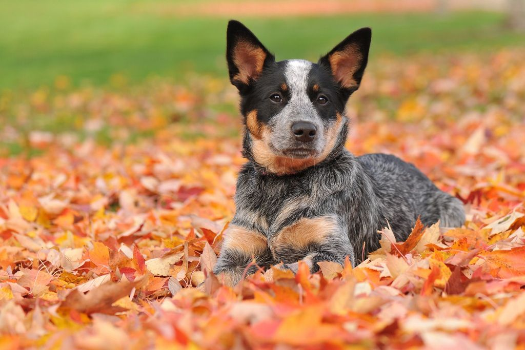 Blue Heeler Cattle Dog Puppy Blue Heeler Dogs Aussie Cattle Dog