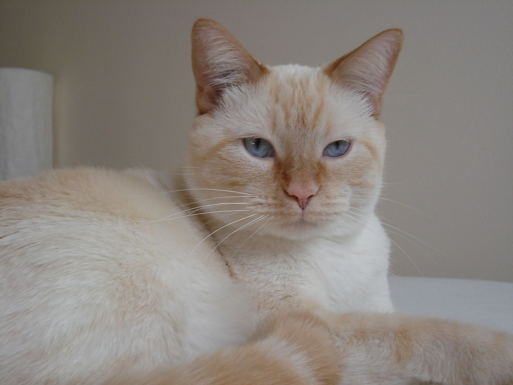 I think everyone should have a flame point siamese