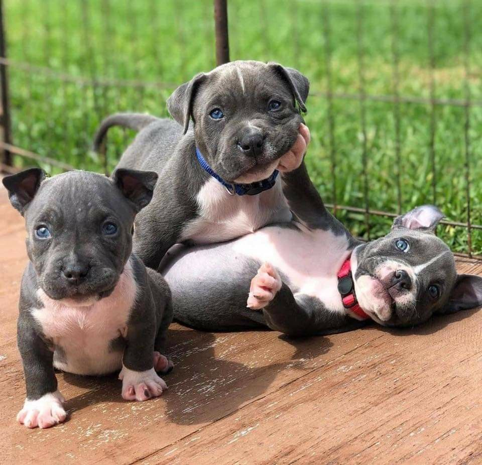 Pin By Deb Jay On Dog Gone Good In 2020 Cute Dogs Pitbull Puppies Dog Love