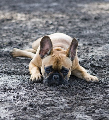 What Veggies Are Good For Dogs Pancreatitis In Dogs French