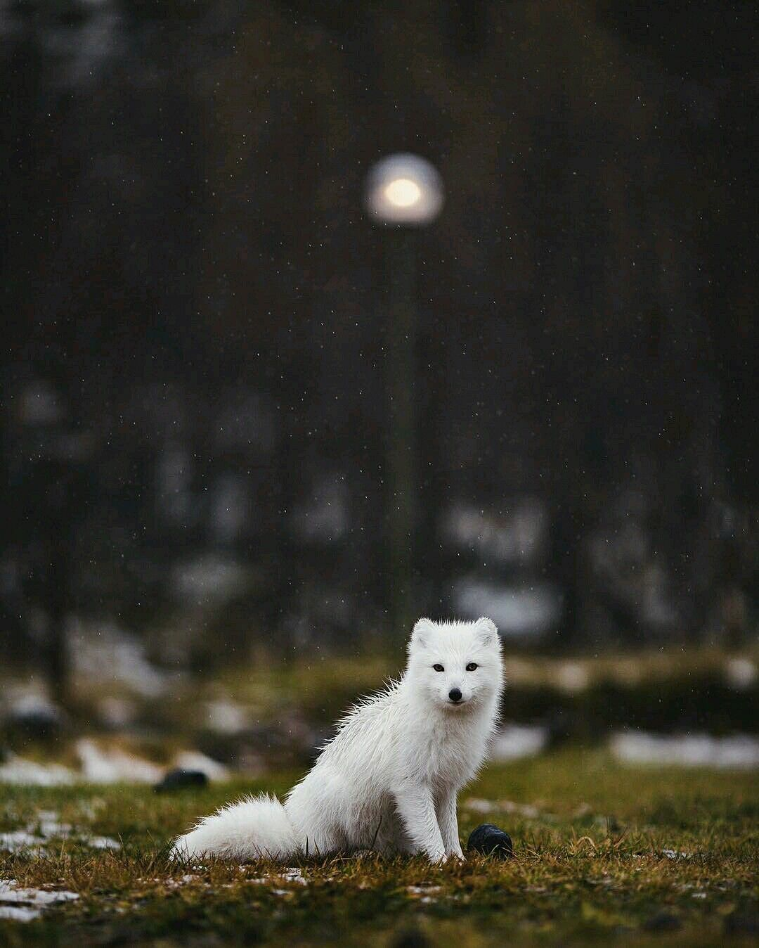 Pin by Yasmina ~ YA ~ الياسمين ~ on Animals +++ | Arctic fox