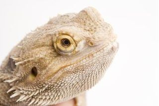 """Bearded dragons are a gentle species of lizard native to Australia. Though their bodies are covered in a tough skin lined with pointed spikes, they make great pets for amateur and experienced reptile owners alike. Caring for a bearded dragon requires little more than feeding, attention and cage-cleaning. But it's also possible to """"potty-train"""" some..."""