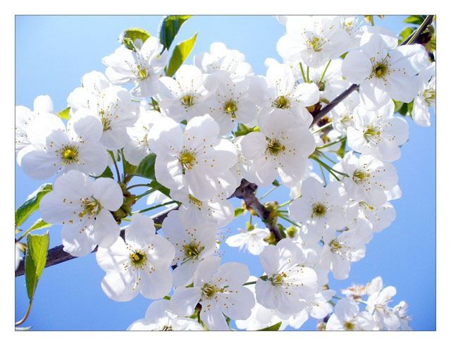 Cherry Flowers Beautiful Flowers Pictures Most Beautiful Flower Pictures Flower Pictures