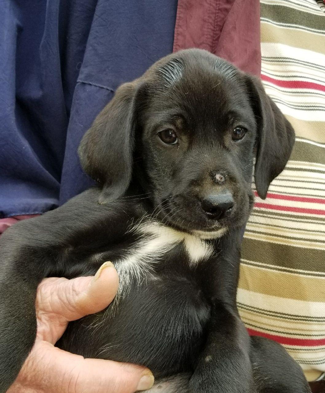 Pointer Dog For Adoption In Morganville Nj Adn 754262 On Puppyfinder Com Gender Male Age Baby Dog Adoption Pointer Dog Dogs