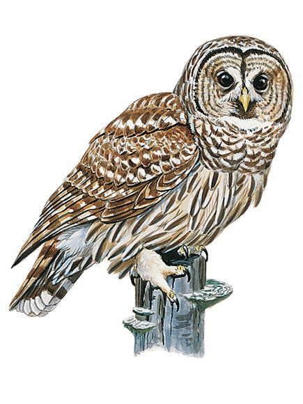 barred owl strix varia this widespread woodland owl dozes by day on a well - Picture Of Owl