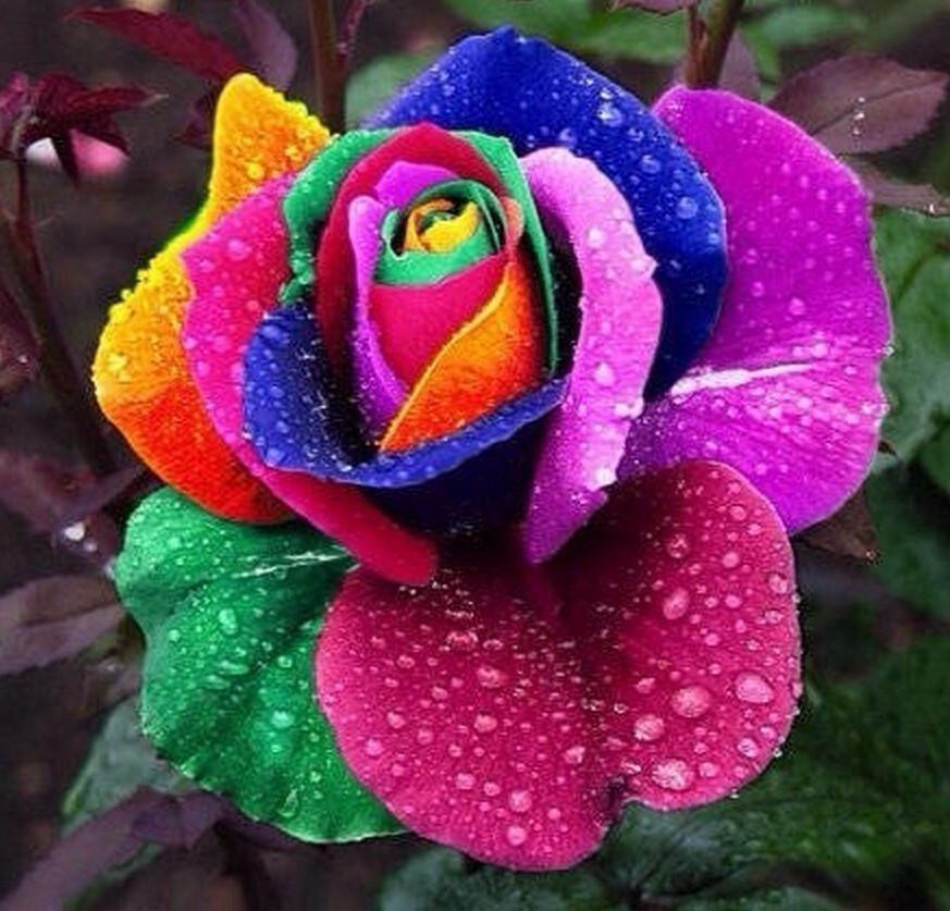 Unbelievable Rare 100 Rainbow Rose Seeds #rainbowroses