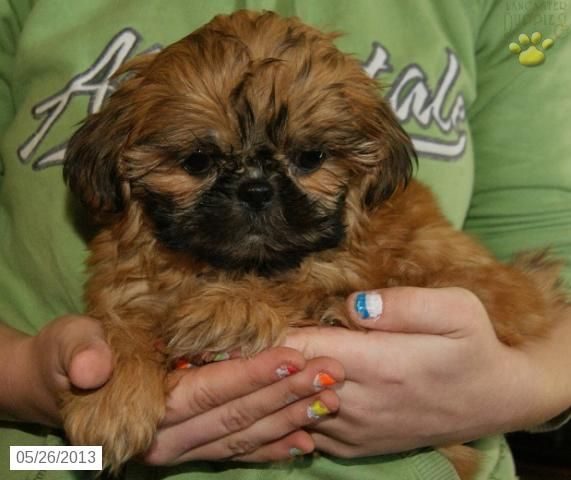 Amber Shih Tzu Puppy For Sale In Frederick Md Shih Tzu