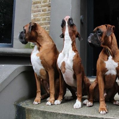Resultado de imagen para Boxer dogs watching from the window