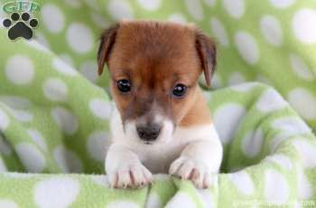 Kentley Jack Russell Puppy For Sale In Strasburg Pa