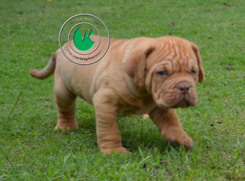 French Mastiff Pup For Sale In India Only Price Rs 40 000