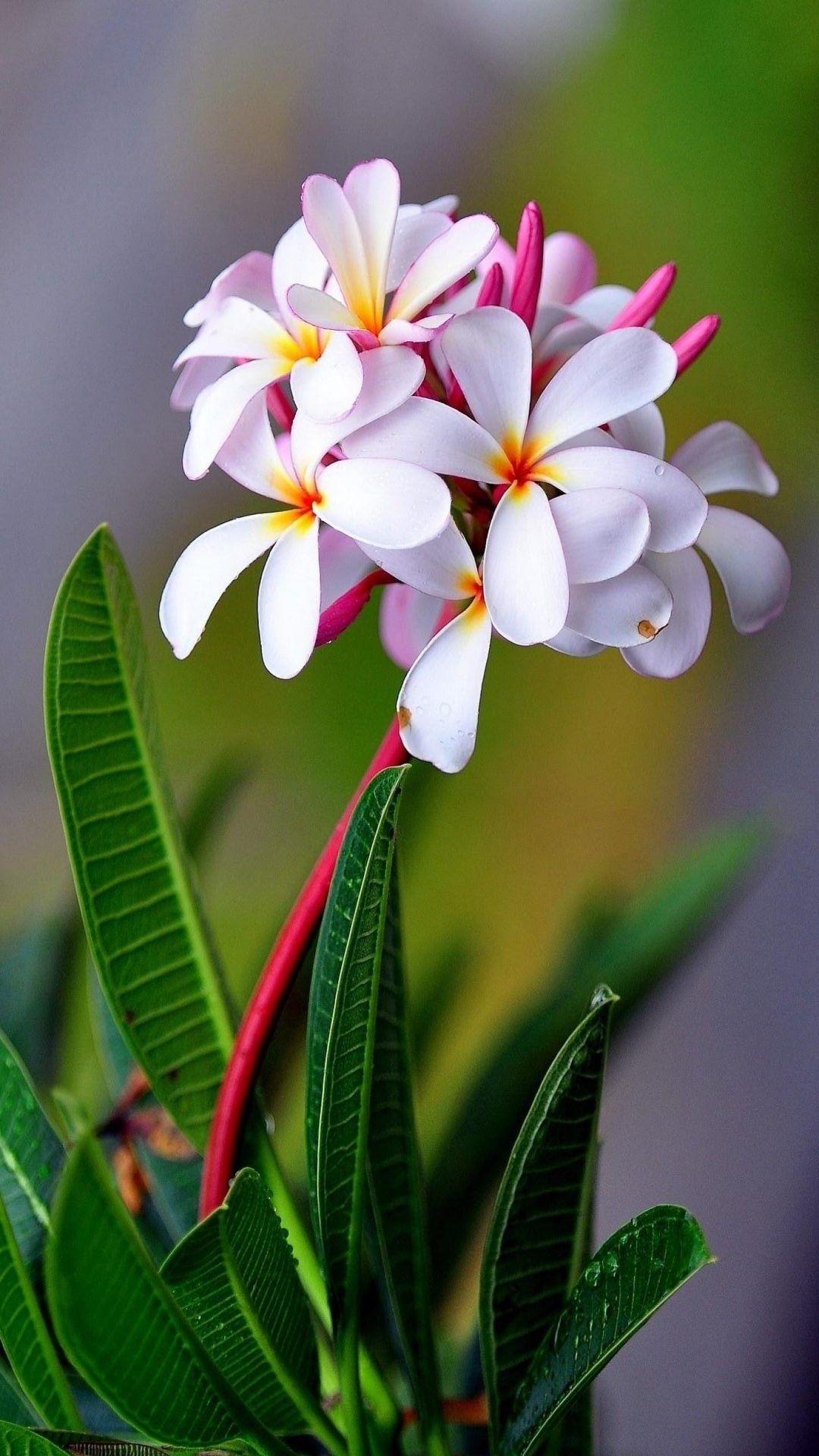 Wallpaper White Flower Mobile Best Hd Wallpapers Beautiful Flowers Plumeria Flowers Amazing Flowers