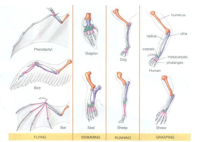 homologous structures evolution adaptations pinterest biology