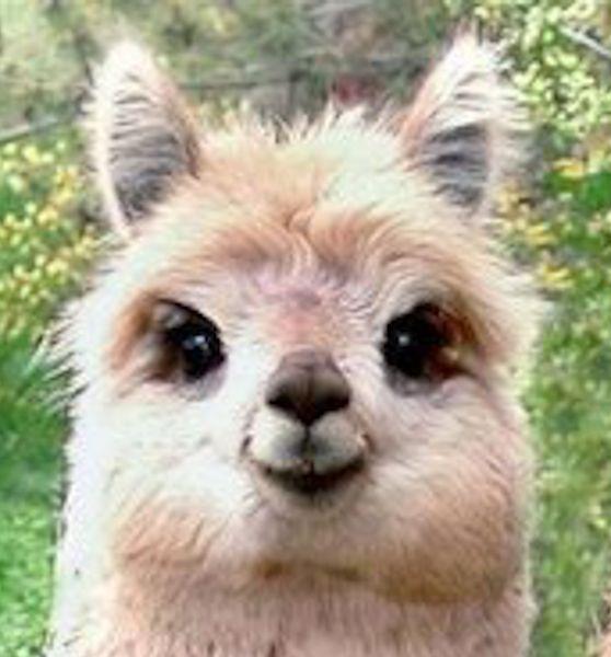 Alpaca Face alpaca face - G...