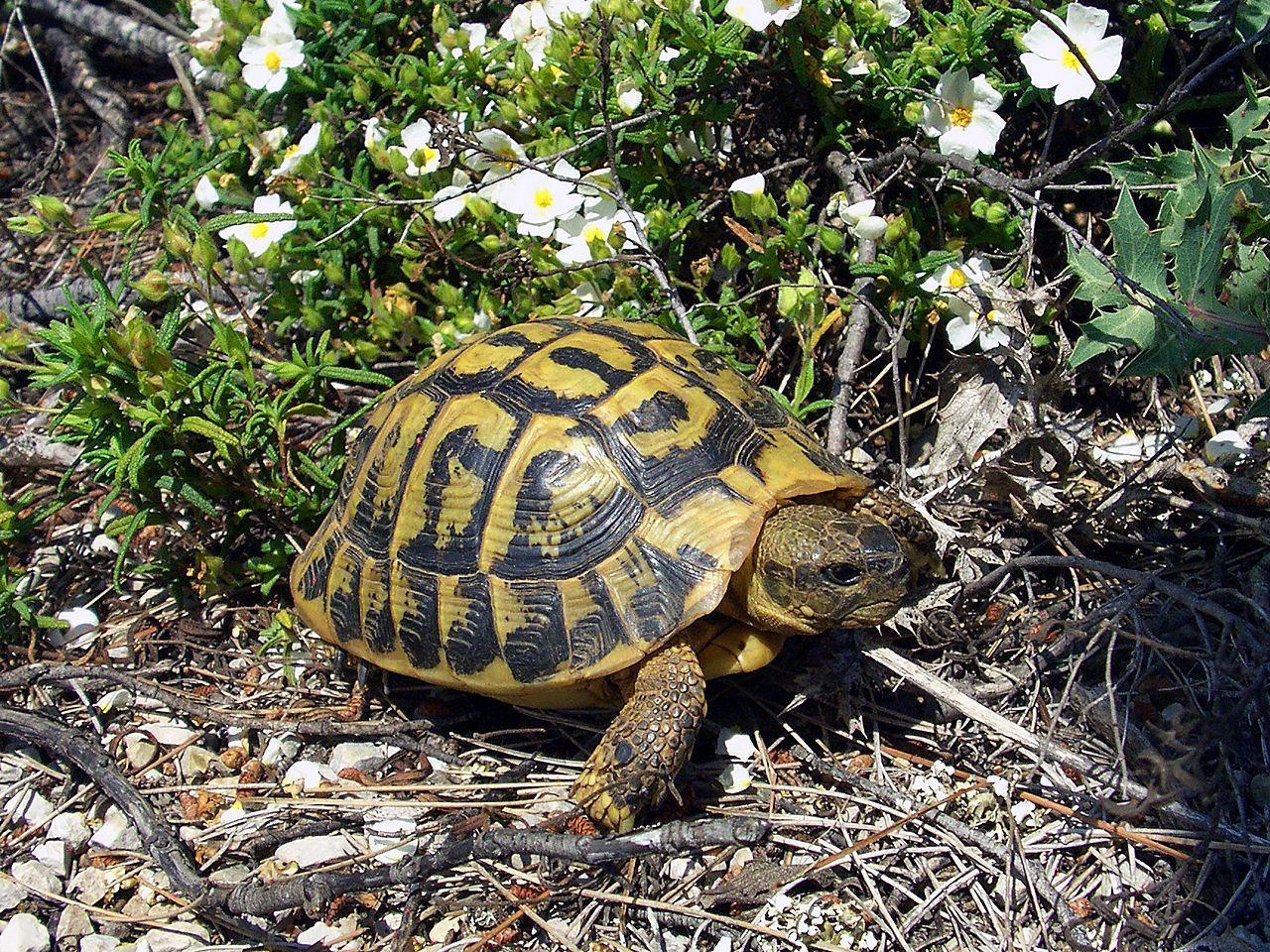 Testudo hermanni mediterranean tortoise turtles pinterest