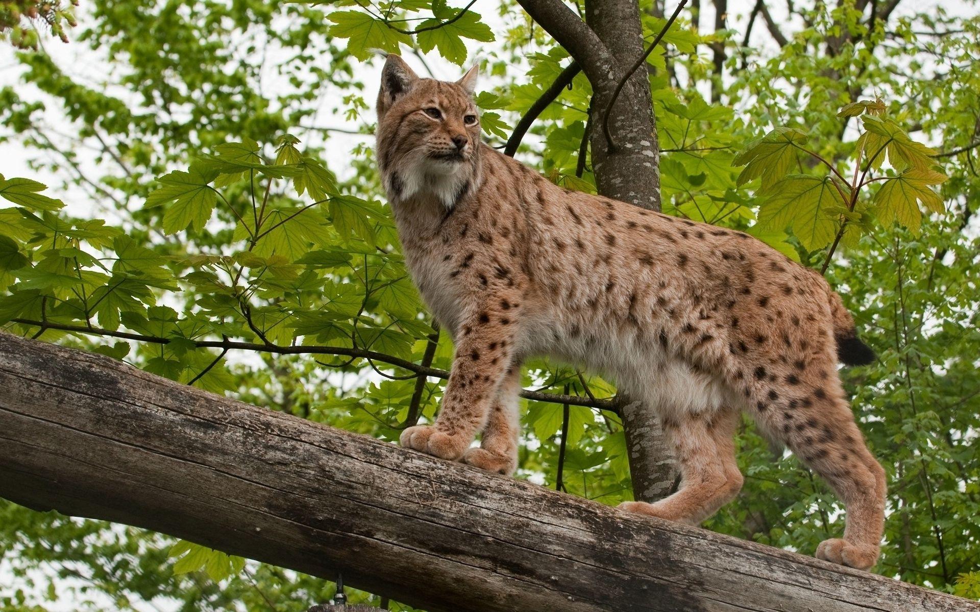 Lynx Wallpaper Wild Cats Animals Wallpaper