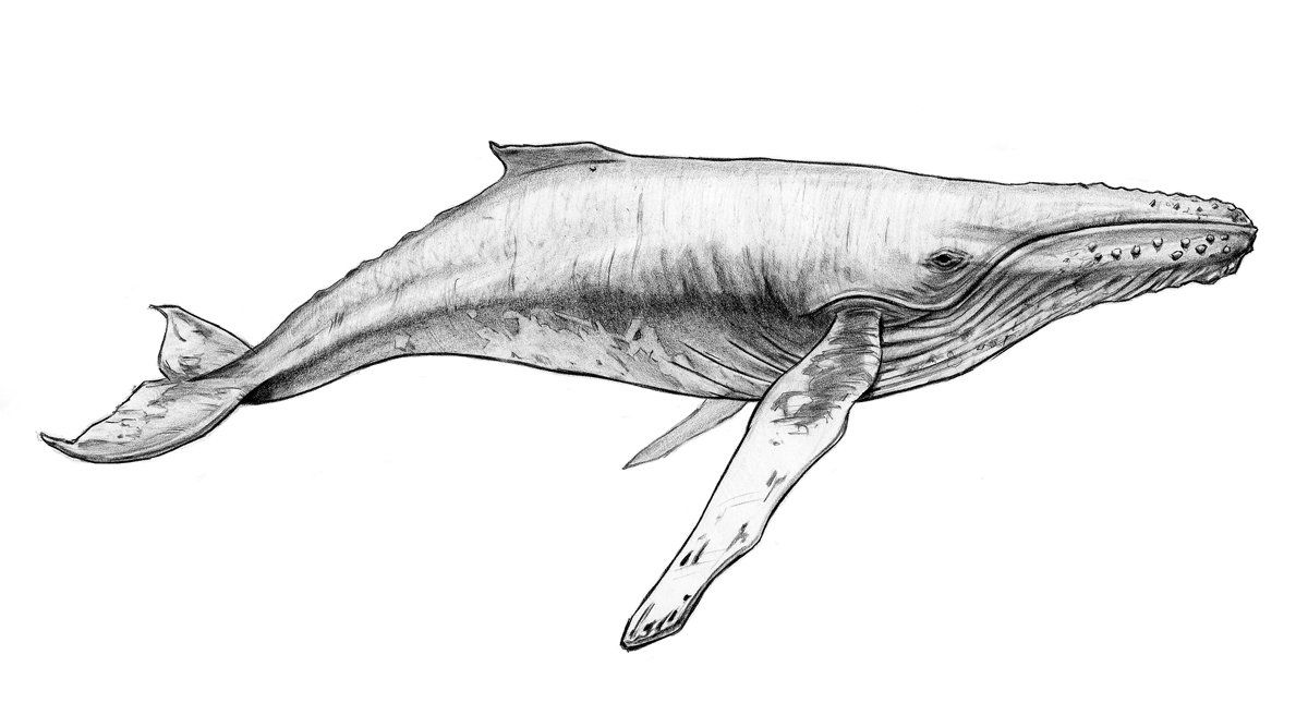 Kris turvey whale sketch | sketching drawing | Pinterest | Sketches ...