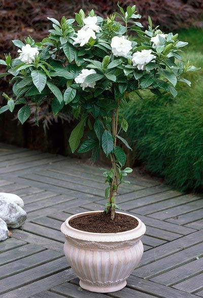 August Beauty Gardenia Tree Potted For The Patio This Is 400 x 300