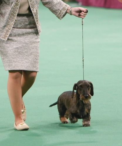 Westminster Dog Show 2012 Best In Show Goes To Malachy A