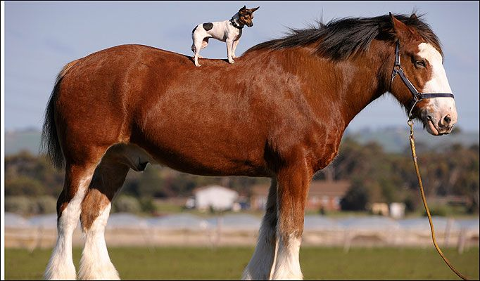 my all time favorite horse. so big even a dog can ride one ...