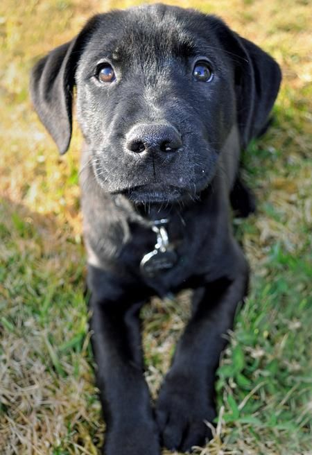 Black Lab Mixed With Pitbull Puppies Golden Boxer Mix With