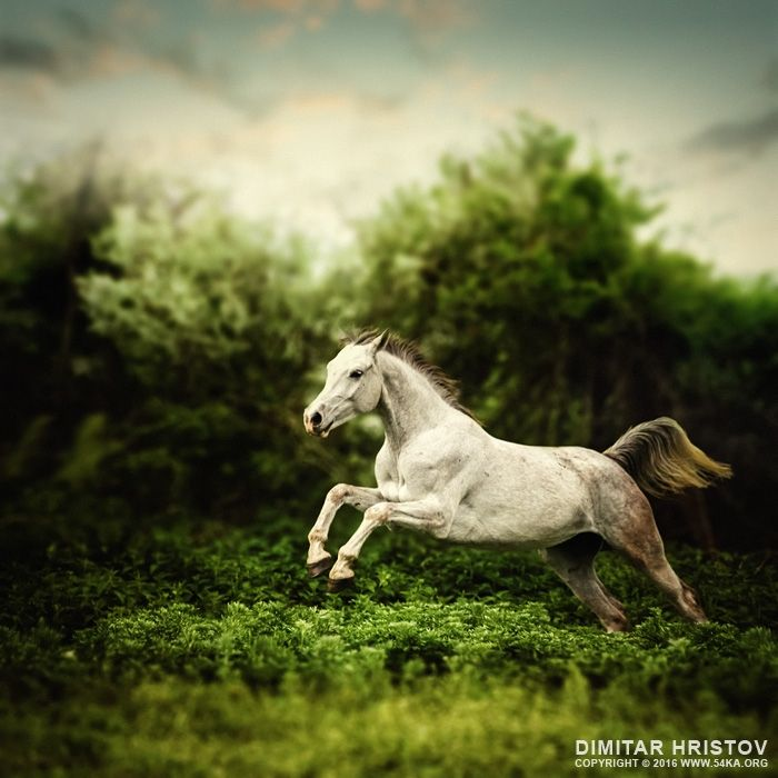 Beautiful white horse jump on the green forest background ...