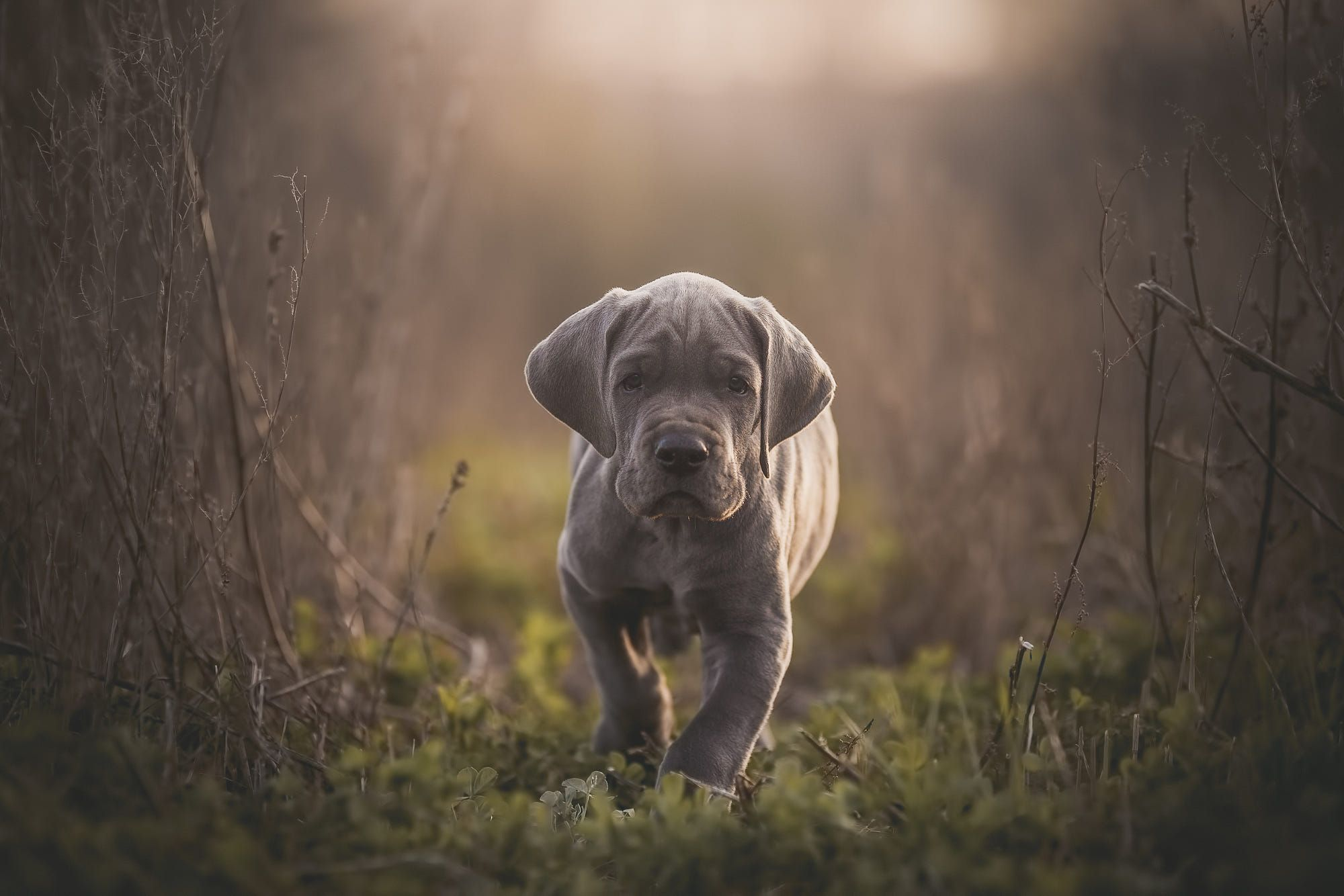 Great Dane Puppy By Mike Bons On 500px Great Dane Puppy Great