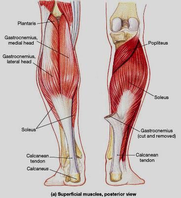 Posterior Lower Leg Muscles Nursing Stuff Pinterest Anatomy