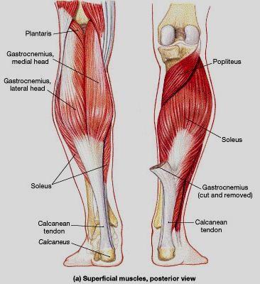 posterior lower leg muscles | human anatomy assignment | pinterest, Human Body