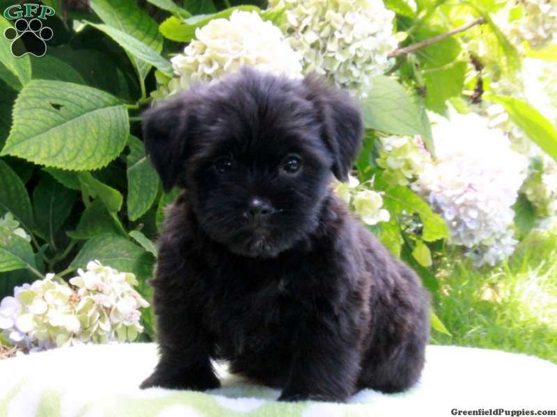Suki Shorkie Puppy For Sale From Paradise Pa Shorkie Puppies