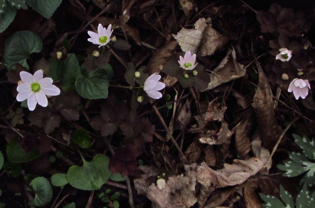 Rue Anemone Iowa Native Yard Idead A Woodland Garden Spring