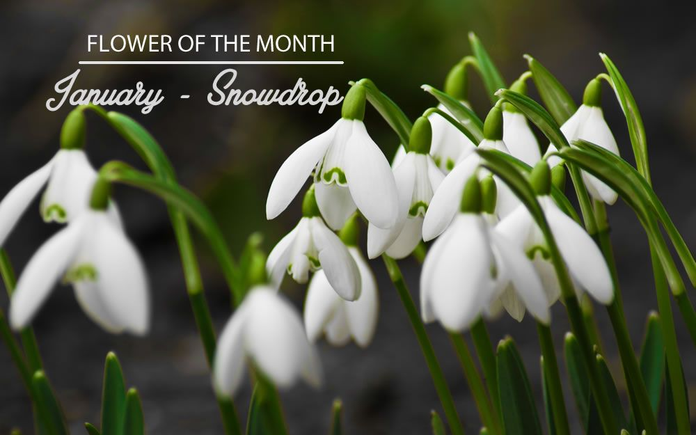 Flower Of The Month January Snowdrop Wise Boomer Chics Hot And Mobile Read The Latest News And Comment Bulb Flowers Garden Bulbs Blooming Flowers