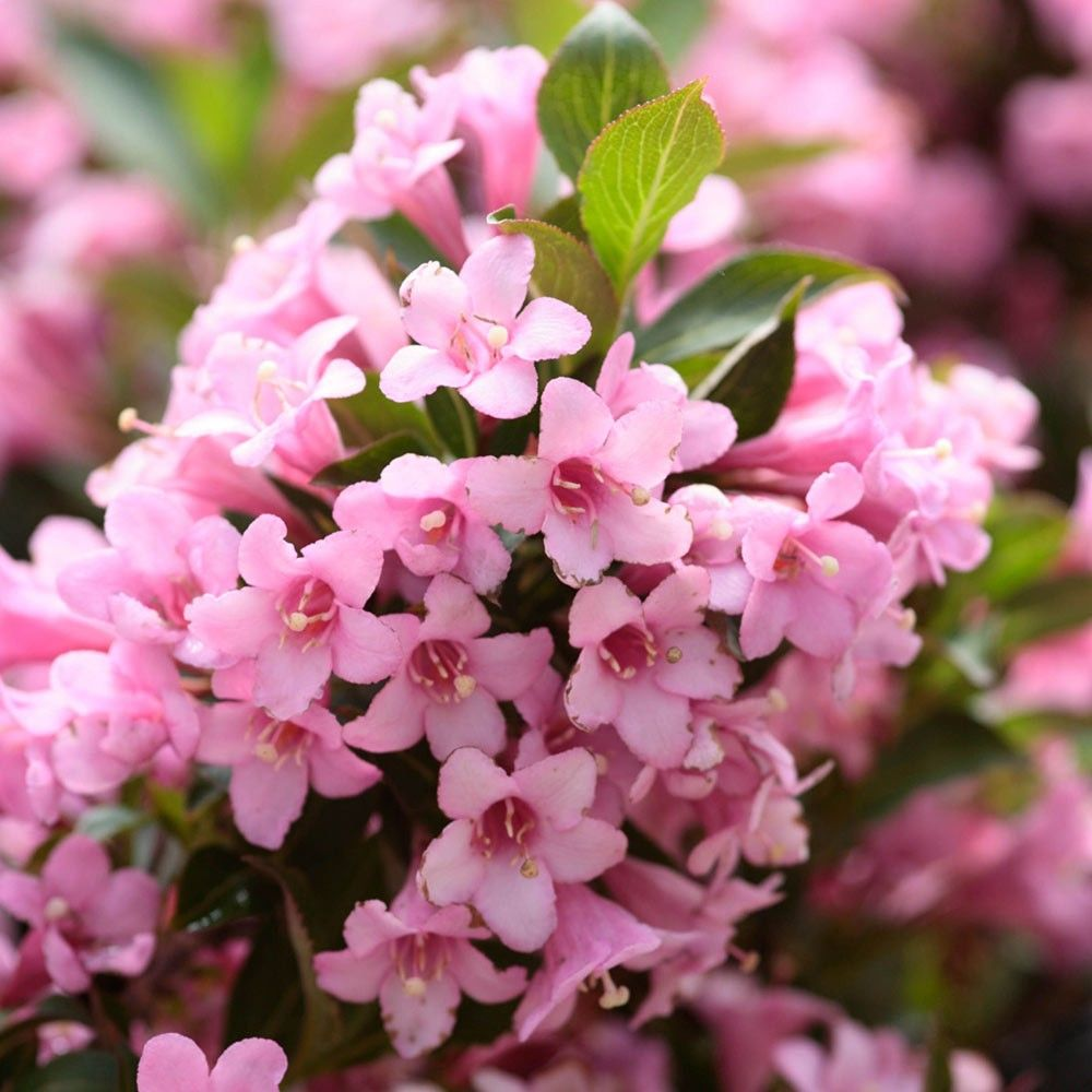 Weigela rosea medium shrubs trees 1 shrubs by for Pink flowering shrubs