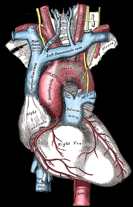 Heart anatomy from Gray\'s Anatomy - #Nursing | nursing | Pinterest ...