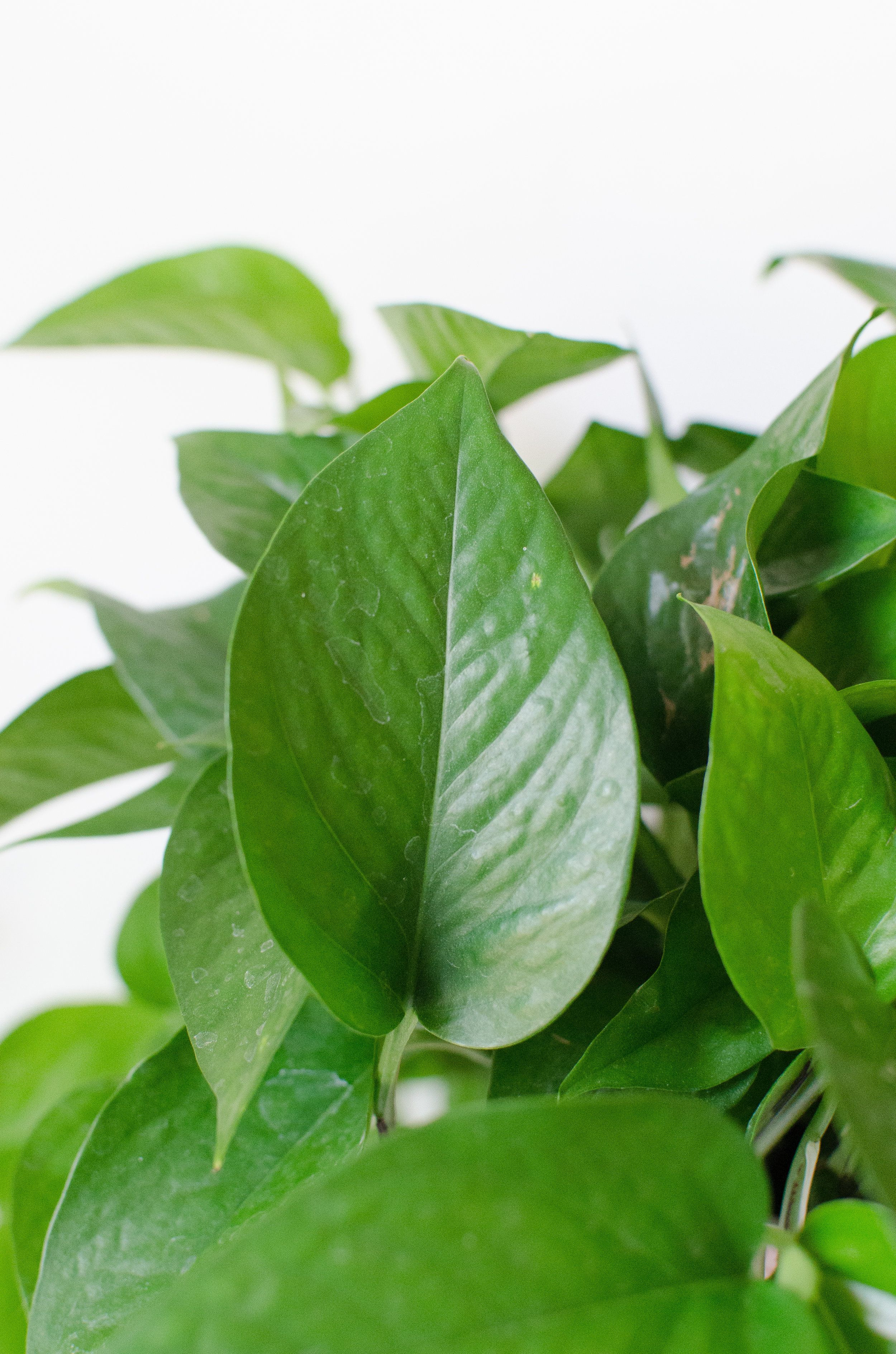 Know your plants: how to tell the difference between a ... Variegated Houseplants Med Leaf Identification on