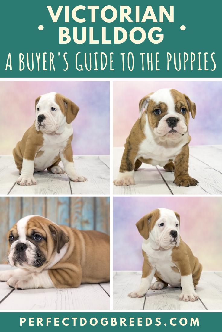 Victorian Bulldog puppies look stoic and grumpy, however
