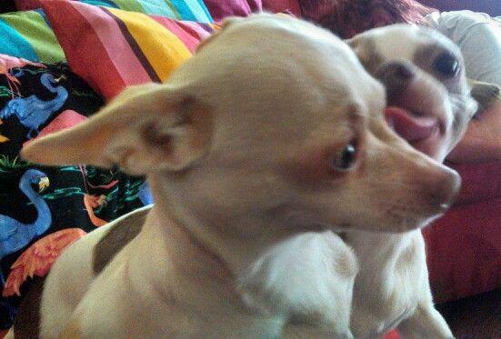 Chihuahua tongue!