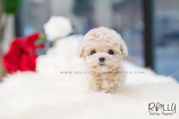 Frodo Rolly Teacup Puppies Cute animals, Teacup