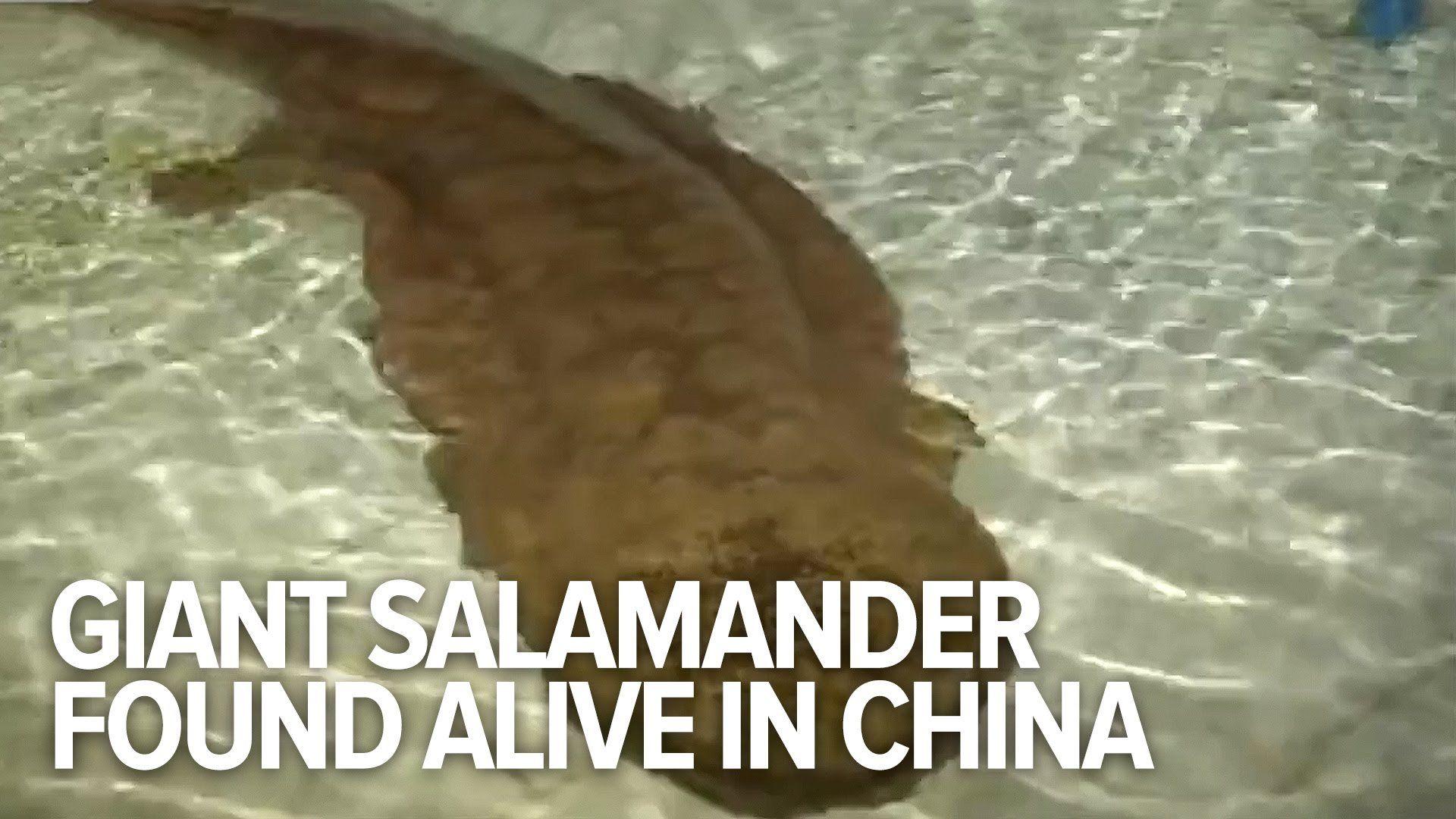 In China hat ein Fischer in irgendeiner Höhle einen 200 Jahre alten riesigen Riesensalamander gefunden. Blöderweise haben sie das Tier jetzt aus seiner Höhle geholt und zu Forschungszwecken in ein Planschbecken gepackt Endemic to China, the Chinese giant salamander (CGS hereafter) is the largest extant amphibian in the world. Part of the ancient Cryptobranchidae age [ ]
